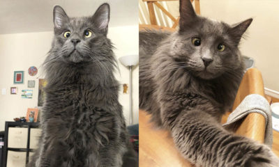 Cross-eyed rescue cat Belarus earns thousands of dollars for animal charities with his adorable look