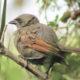 South America Cuckoos Crossword Clue Answer
