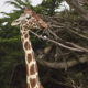 Giraffe features crossword clue Solution