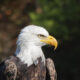 Bald eagle attacks $950 state drone, drops it into Lake Michigan