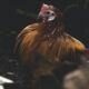 Italian man gets fined over rooster's constant early-morning crowing